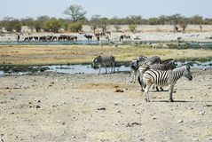 Wildlife animals in the Etosha National Park, Namibia Royalty Free Stock Photos