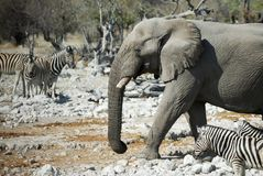 Wildlife animals in the Etosha National Park, Namibia stock image