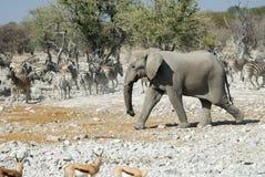 Wildlife animals in the Etosha National Park, Namibia Stock Image