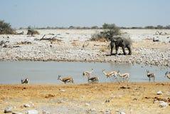 Wildlife animals in the Etosha National Park, Namibia Stock Photography