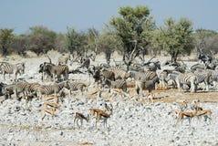 Wildlife animals in the Etosha National Park, Namibia Stock Photos