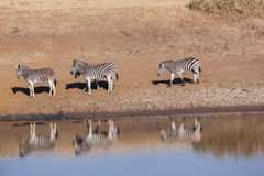 Wildlife Animals four Zebra's Waterhole Royalty Free Stock Image
