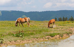 Wildlife animals, Golte, Slovenia Stock Photography