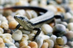 Wildlife and Animals - Lizards Stock Photo