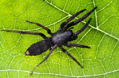 Wildlife and Animals - Spiders. Adult white-tailed spider showing body pattern details on a green leaf Stock Photo