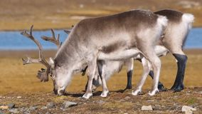Wildlife - Arctic reindeer in natural habitat stock video