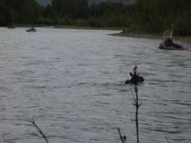 Fishermen watching a moose cross the russian river in the springtime. Wildlife as seen in alaska by anglers in drift boats