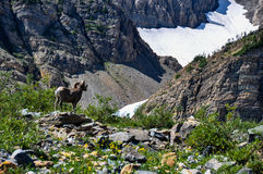 WIldlife as seen in Glacier National Park, Montana, USA Stock Image