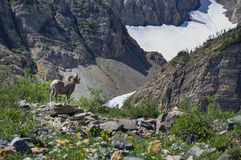 WIldlife as seen in Glacier National Park, Montana, USA Royalty Free Stock Photos