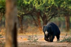Wildlife Asia. Cute animal on the road Asia forest. Sloth bear, Melursus ursinus, Ranthambore National Park, India. Wild Sloth bea. R nature habitat, wildlife stock photo