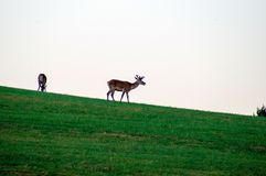 Wildlife background. Deer on green meadow. Gray sky. Growing antlers. Deer on the Horizon. Royalty Free Stock Images