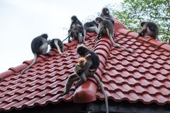 Wildlife background with monkeys and baby monkey on roof top. im Stock Photo