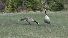 Wildlife at banff national park, alberta. A close-up of a large geese in northern canada stock video