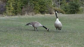 Wildlife at banff national park, alberta stock video