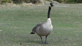 Wildlife at banff national park, alberta stock footage