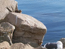 Wildlife at the bay. Squirrels and bird sunbathing on the rocks Stock Photos