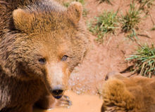 Wildlife bear Royalty Free Stock Photography