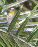 African Masked Weaver stock images