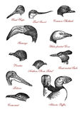 Wildlife bird head comparison XIX century engraving. Portraits of different wildlife bird heads: great snipe and pied avocet, shelduck and flamingo, goose and Stock Photography