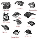 Wildlife bird head comparisson XIX century engraving Stock Photos