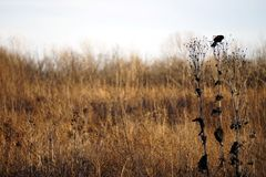 Red wing black bird perched on a tall prairie plant. Wildlife bird photo taken during sunset in a prairie in southern Illinois Stock Photos