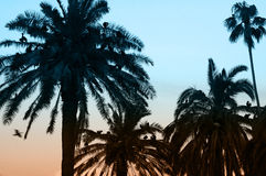 Wildlife birds. Silhouette of several birds nesting on palm trees, picture is colorized Stock Images