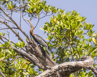 African Darter Royalty Free Stock Photography