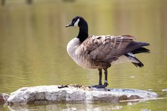 Wildlife Birds Canadian Canada Goose Standing Blue Pond Afternoon royalty free stock photo