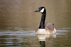 Wildlife Birds Canadian Canada Goose Swimming Green Algae Pond Afternoon royalty free stock photos