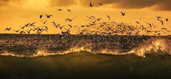 Wildlife of birds. Lots of seagulls hovering over the stormy sea at sunset royalty free stock images