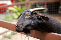 Wildlife of black goat in the cage Stock Photo