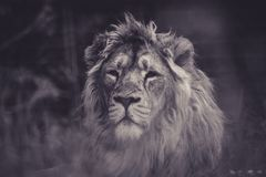 Wildlife, Black And White, Lion, Mammal Royalty Free Stock Photo