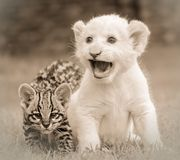 Wildlife, Black And White, Lion, Mammal royalty free stock photography