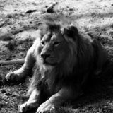 Wildlife, Black And White, Lion, Monochrome Photography stock photos