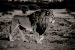 Wildlife, Black And White, Mammal, Lion royalty free stock photos