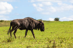 Wildlife Blue Wildebeest Animal Stock Photos