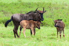 Wildlife Blue Wildebeest Calfs Stock Photography