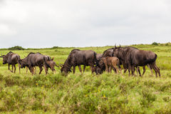 Wildlife Blue Wildebeest Calfs Stock Images
