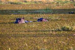 Wildlife in Botswana. Southern Africa Royalty Free Stock Image