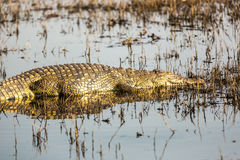 Wildlife in Botswana. Southern Africa Stock Images