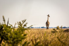 Wildlife in Botswana. Southern Africa Royalty Free Stock Images