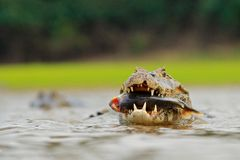 Wildlife Brazil. Caiman, Yacare Caiman, crocodile with fish in mouth with evening sun, in the river, Pantanal, Brazil. Wildlife sc. Ene from nature. Head of Stock Image