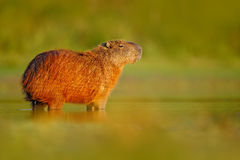 Wildlife of Brazil. Capybara, Hydrochoerus hydrochaeris, Biggest mouse in the water with evening light during sunset, Pantanal, Br. Azil Stock Image