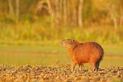 Wildlife Brazil. Capybara, Hydrochoerus hydrochaeris, Biggest mouse in the water with evening light during sunset, Pantanal, Brazi. L Stock Image