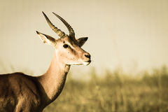 Wildlife Buck Animal Sepia Tone Vintage Stock Images