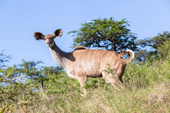 Wildlife Buck Animal Wilderness Royalty Free Stock Photography