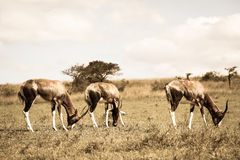 Wildlife Buck Animals Sepia Tone Vintage Stock Image