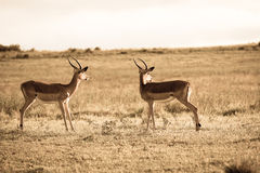 Wildlife Buck Animals Sepia Tone Vintage Royalty Free Stock Photos