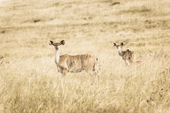 Wildlife Buck Animals Sepia Tone Vintage Stock Photo