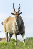 Wildlife Buck Eland Stock Image